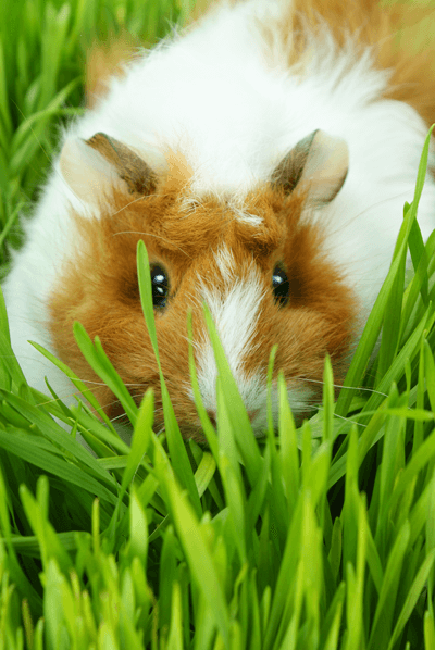Guinea Pigs Ahwatukee Animal Care Hospital