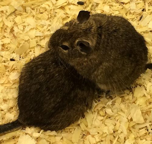 rodents - Ahwatukee Animal Care Hospital