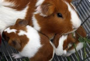 Guinea pigs are social and feed continuously. There are eleven breeds of guinea pigs.