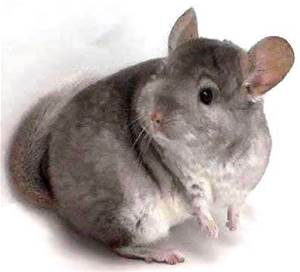Veterinary medical care and boarding for your Chinchilla