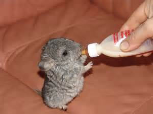 Ahwatukee Animal Care hospital provides veterinary care and boarding for your chinchilla