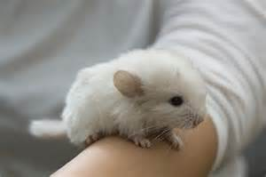 Ahwatukee Animal Care Hospital and Pet resort offers veterinary medical care and boarding services for chinchillas