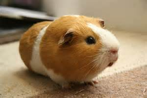Ahwatukee Animal Care Hospital and Pet Resort provides veterinary care and boarding for guinea pigs