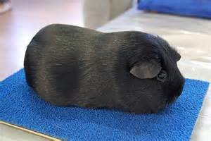 Pressure sores on the feet, obesity, pneumonia, and swelings are common problems for Guinea Pigs