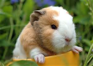 Ahwatukee Animal Care Hospital provides veterinary medical care and boarding services for your guinea pig.