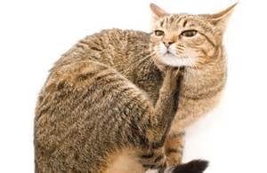 Flea prevention in cats - Ahwatukee Animal Care Hospital